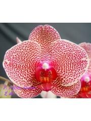 Орхидея Фаленопсис (Phal. I-Hsin Sesame)