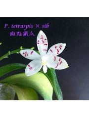 Орхидея Фаленопсис  (Phal. tetraspis × sib)