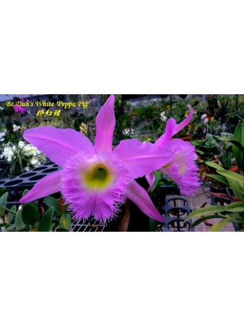 Орхидея Брасокатлея (Bc.Duh's White 'Peppa Pig')