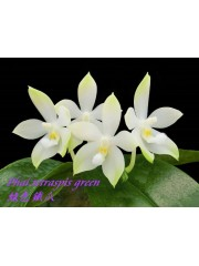 Орхидея Фаленопсис (Phal. tetraspis 'green')
