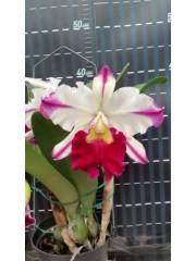 Орхидея Blc. Ann Cleo (MC)