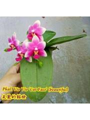 Орхидея Фаленопсис (Phal. Vio Vio 'Cat Face' (beautiful) )