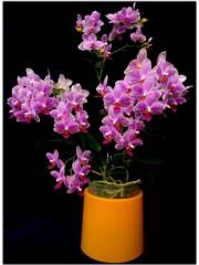 Орхидея Фаленопсис (Phal. Hualien Pink Galaxy )
