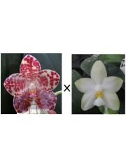 Орхидея Фаленопсис (Phal. gigantea × Phal. Yungho Gelblitz)