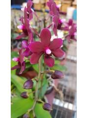 Орхидея Доритаенопсис (Dtps. Black Bird)