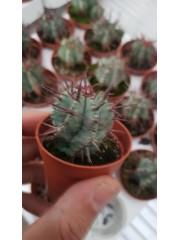 Кактус (Cactus) PR4822
