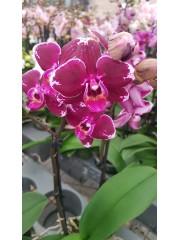 Орхидея Фаленопсис  PR4806