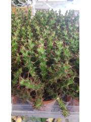Еуфорбия  (Euphorbia) PR4838