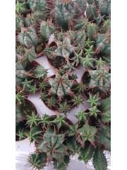 Кактус (Cactus) PR4823