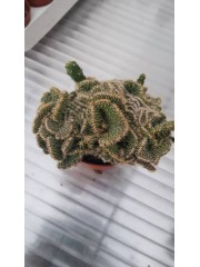 Кактус (Cactus) PR4825