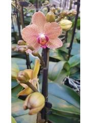 Орхидея Фаленопсис  PR4811