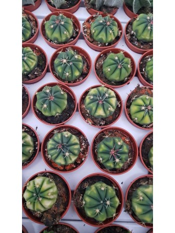 Кактус (Cactus) PR4835