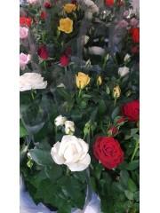 Роза - Микс - 3 броя
