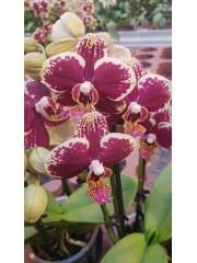 Орхидея Фаленопсис  PR4820