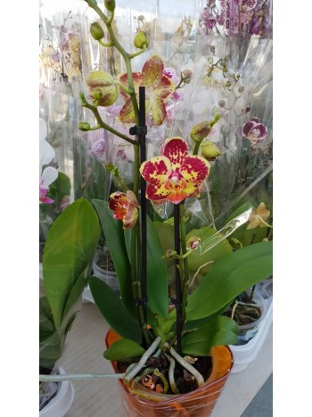Орхидея Фаленопсис  PR4840