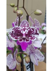 Орхидея Фаленопсис  PR4818