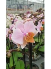 Орхидея Фаленопсис  PR4807
