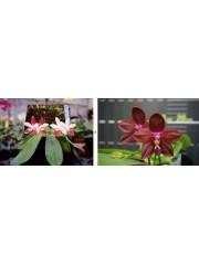 Орхидея Фаленопсис (Phal. Miki C1 Bear)