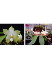 Орхидея Фаленопсис (Phal. bellina var. alba × Phal. tetraspis'C1')