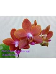 Орхидея Фаленопсис (Phal. Pingtung Bronze Age)