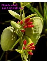 Орхидея Dischidia vidalii