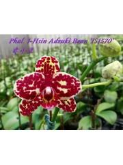 Орхидея Фаленопсис (Phal. I-Hsin Adzuki Bean 'IS1570')