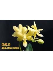 Орхидея Фаленопсис (Phal. Stone Dance)