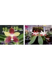Орхидея Фаленопсис (Phal. Tying Shin Fly Eagle × Phal. tetraspis 'C1')