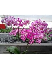 Орхидея Фаленопсис (Phal. Juih Bao Red Rose)