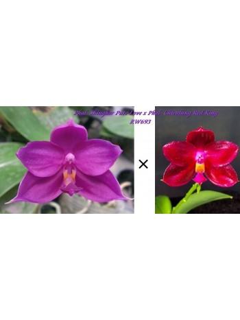 Орхидея Фаленопсис (Phal. Shingher Pure Love x Phal. Chienlung Red King )