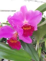 Катлея  (Cattleya) - PR4714