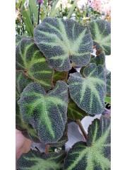 Бегония ( Begonia)- PR4789