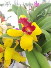 Катлея  (Cattleya) - PR4713