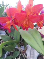 Катлея  (Cattleya) - PR4718