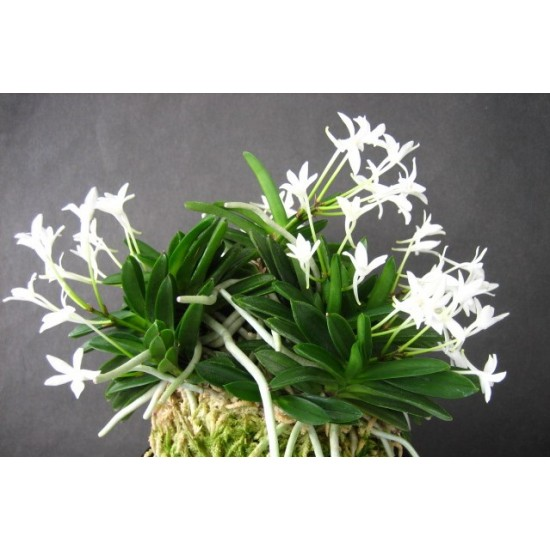 Орхидея Неофинетия (Neofinetia falcata kirinmaru)