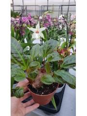 Монолена примулифлора- (Monolena primuliflora)