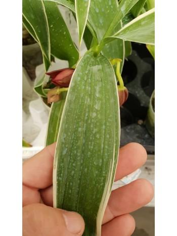Орхидея Cyc.Wine Delight (variation of leaf)