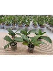 Орхидеи  - 5 броя - без цветове