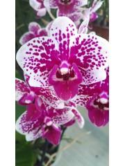 Орхидея Фаленопсис- PR4725