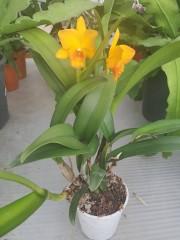 Катлея  (Cattleya) - PR4719