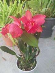 Катлея  (Cattleya) - PR4720