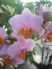 Орхидея Фаленопсис- PR4721