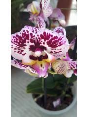 Орхидея Фаленопсис- PR4726