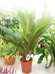 Цикас ( Cycas revoluta) - PR4734