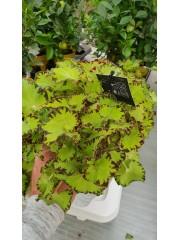 Бегония (Begonia Jive) PR4780