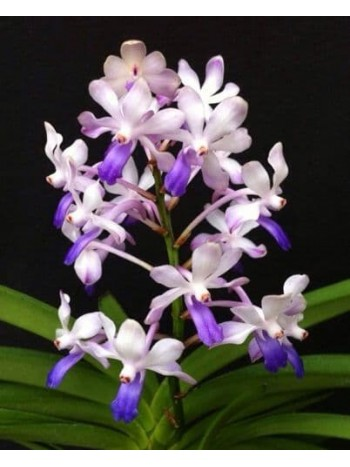 Орхидея Вандахостилис (Vandachostylis Lou Sneary 'Bluebird')