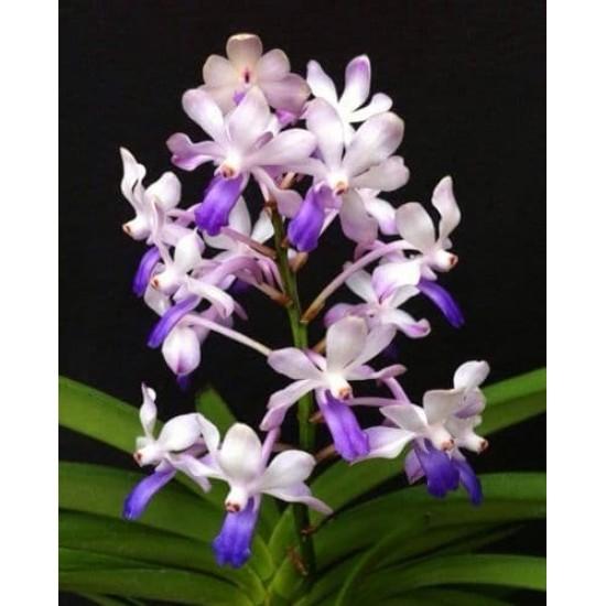 Орхидея Вандахостилис (Vandachostylis Lou Sneary Bluebird)