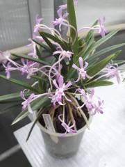 Орхидея Неофинетия (Neofinetia falcata Eunhong )