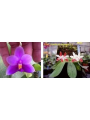 Орхидея Фаленопсис (Phal. Yaphon Rich Woman × Phal. tetraspis 'C1' )