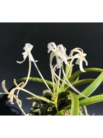 Орхидея Неофинетия (Neofinetia falcata 'Aojiku Yoroidoushi)